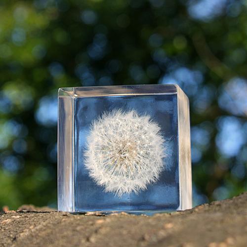 宙-sola- そら/植物立体標本「sola cube ソラキューブ」タンポポ(50mm)