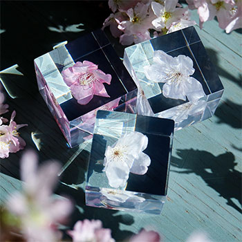 sola cube ソラキューブ/植物立体標本 桜 サクラ(3種)