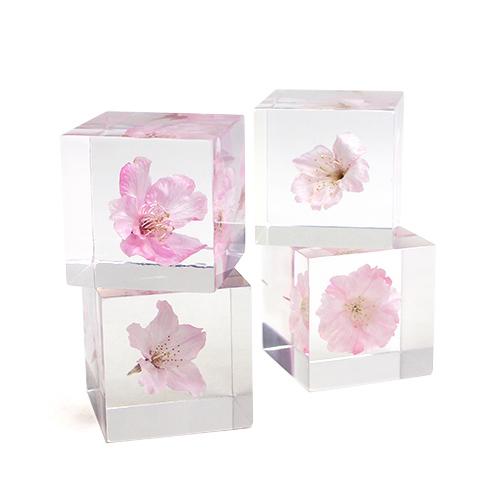 宙-sola- そら/植物立体標本「sola cube ソラキューブ」桜 サクラ(2種)